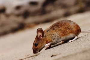 Mouse extermination, Pest Control in Crystal Palace, Upper Norwood, SE19. Call Now 020 8166 9746