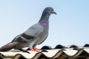 Pigeon Control, Pest Control in Crystal Palace, Upper Norwood, SE19. Call Now 020 8166 9746