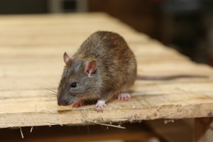 Rodent Control, Pest Control in Crystal Palace, Upper Norwood, SE19. Call Now 020 8166 9746